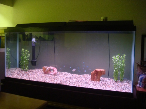 My 55 gallon tank with 2 Blue Gouramis and 12 Neon Tetras